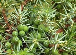 Ginepro comune (Juniperus communis)