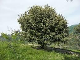 Leccio (Quercus ilex)