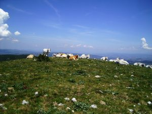 Mucche sul Monte Croce di Serra