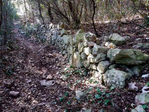 Muri a secco ormai inglobati nel bosco di leccio
