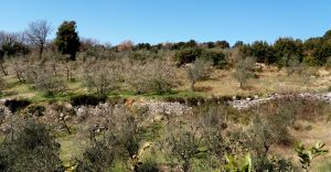 Muretti a secco e oliveti, tipici della zona dei Monti Amerini