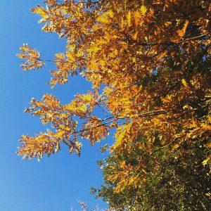 Quercia (Quercus cerris)