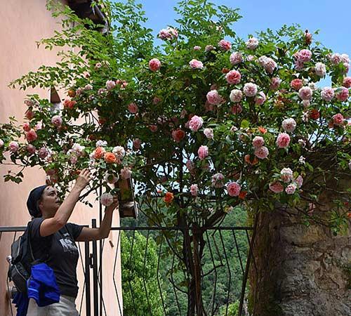 Borgo Santa Restituta, rose