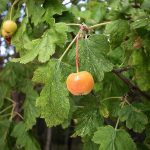 Malus florentina (Zuccagni) Schneid