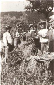 Foto durante la mietitura, sullo sfondo viti a pergole