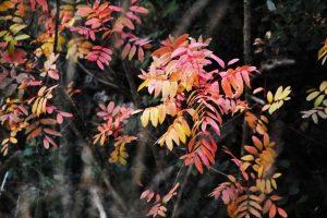 Orniello (Fraxinus ornus)